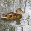 Wild duck — Stock Photo #1318383