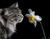 Cat and Narcissus — Stock Photo