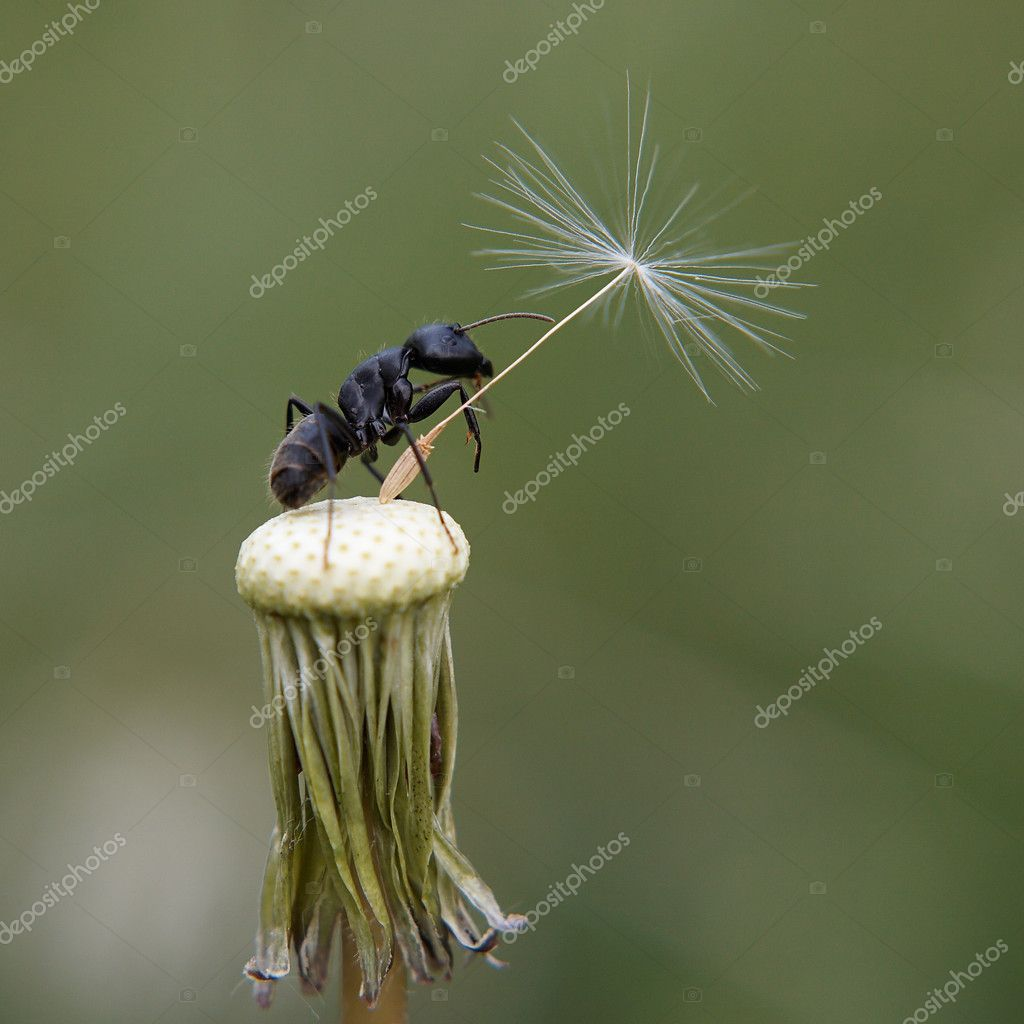 Closeup of Ant on bald dandelion — Stock Photo #1318302