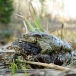Gray toads — Stock Photo
