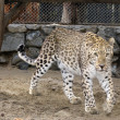 Persian leopard — Stock Photo #1341109