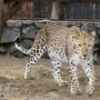 Persian leopard - Stock Photo