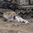Persian leopard — Stock Photo
