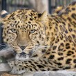 Far-Eastern leopard — Stock Photo