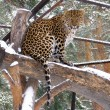Stock Photo: Caucasian leopard