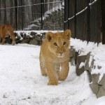 Lion baby — Stock Photo