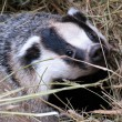 Badger - Stock Photo
