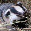 Stock Photo: Badger