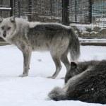 カナダのオオカミ — ストック写真