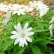 Anemone silvestris — Stock Photo