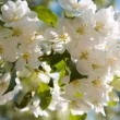 Apple-tree flowers — Stok Fotoğraf #1341503