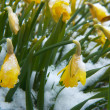 Lent lily on the snow — Stock Photo