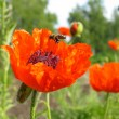 Poppy and the bee - Stock Photo