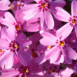 Primula flowers - Stock Photo