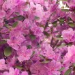 Stock Photo: Rhododendron dauricum