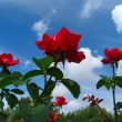 Rose-bush on blue sky background — Stock Photo