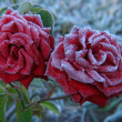 Rose under hoar-frost — Stock Photo