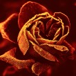 Stock Photo: Red Rose under hoar-frost