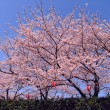 Sakura in blossom - Stock Photo