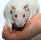 Albino rat — Stock Photo
