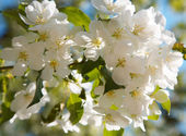 Apple-tree flowers — Stockfoto