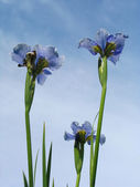 Iris flowers — Stock Photo