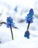Muscari under the snow — Stock Photo