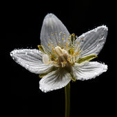 Dew on grass-of-Parnassus flower — Stock Photo