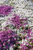 Primula flowers — Stock Photo