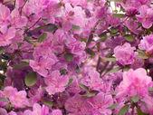 Rhododendron dauricum — Stock Photo