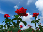 Rose-bush on blue sky background — Zdjęcie stockowe