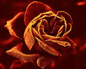 Red Rose under hoar-frost — Stock Photo