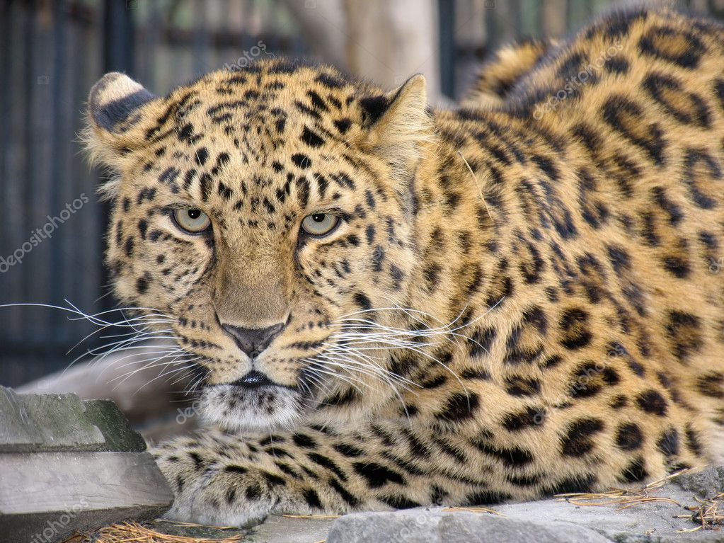 Far-Eastern leopard  Stock Photo #1341120