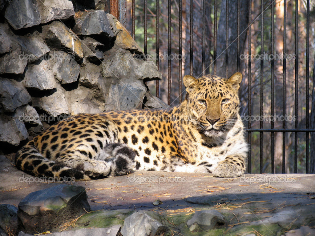 Caucasian leopard — Stock Photo #1341130