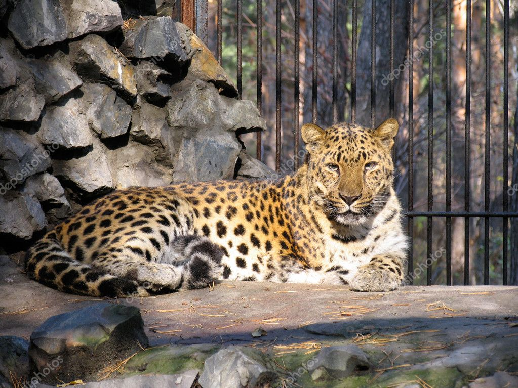 Caucasian leopard  Stok fotoraf #1341130
