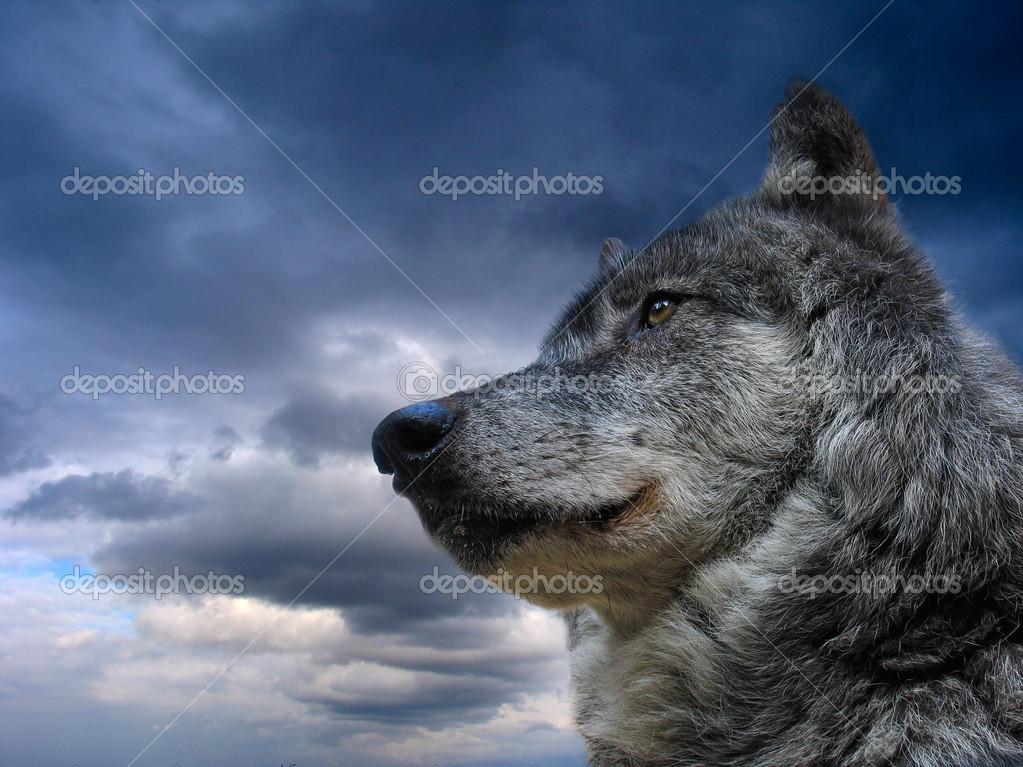 Canadian Wolf — Foto Stock #1341233