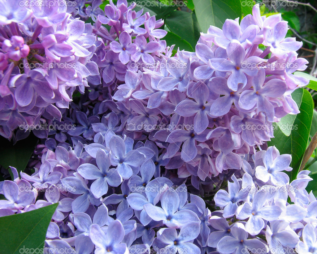 Lilac inflorescence  Stock Photo #1342488