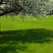Apple-tree - Stock Photo