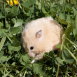 Hamsteron the lawn - Stock Photo