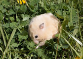 Hamsteron the lawn — Stock Photo