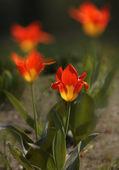 Yellow - Red tulips — Stock Photo