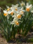 White Narcissus — Stock Photo