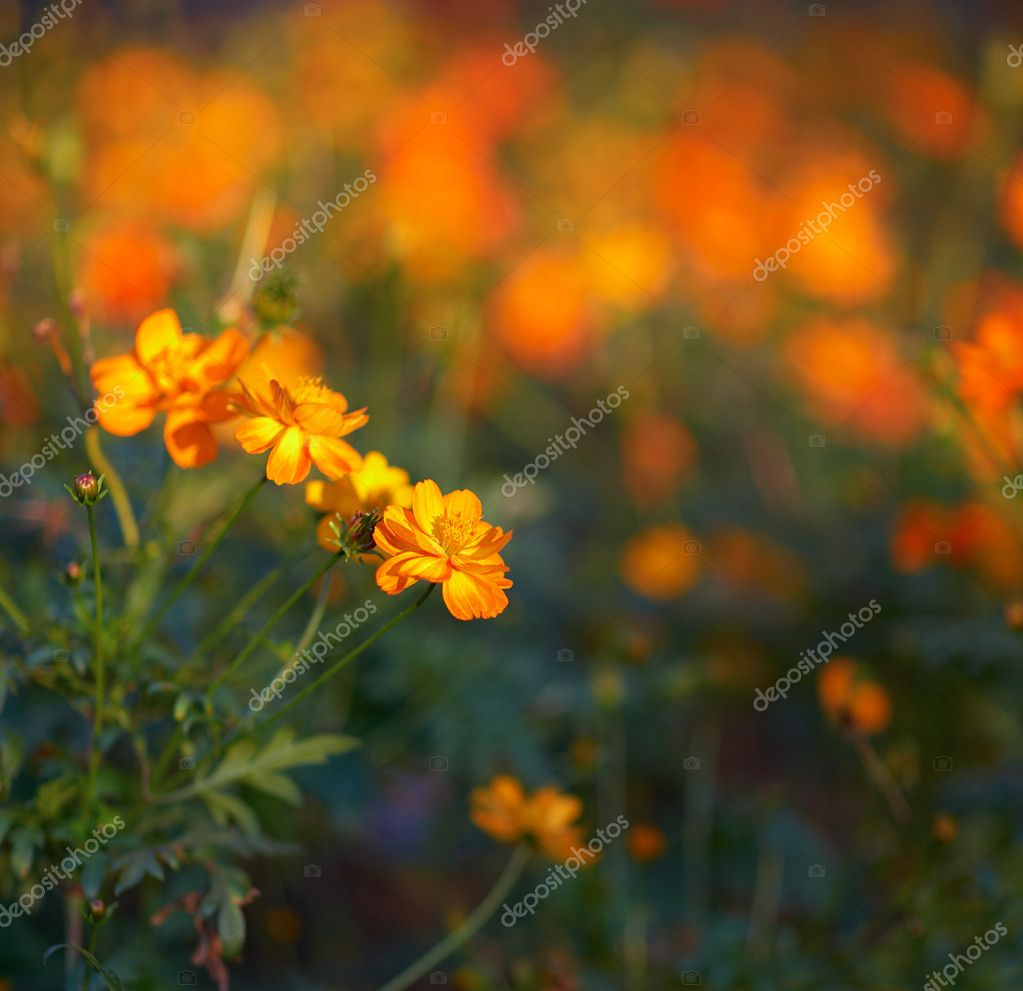 Yellow - orange tagetes flowers — Stock Photo #2641995