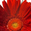 Foto de Stock  : Red gerber flower