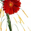 Stock Photo: Red gerber flower