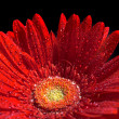 Red gerber flower — Foto de stock #1198191