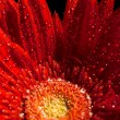 Red gerber flower — Foto de stock #1198199