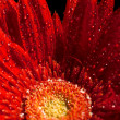 Foto Stock: Red gerber flower