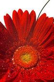 Red gerber flower — Stock Photo