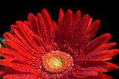Květina červená gerbera — Stock fotografie